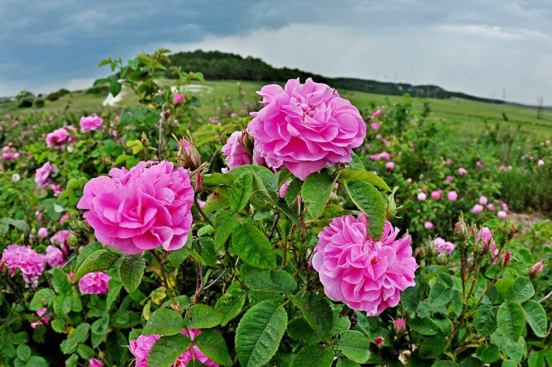 Поля розы в Алуште