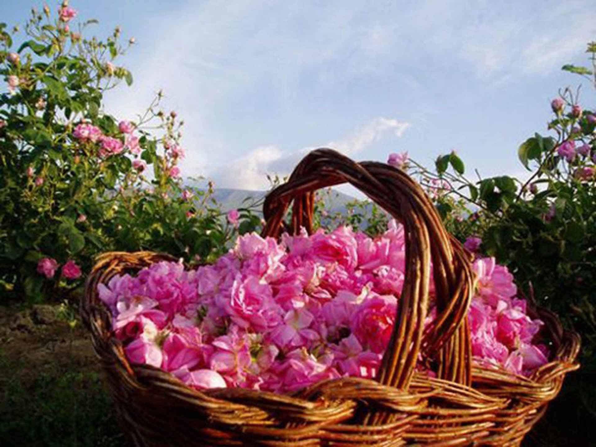 Чайная роза Дегустации в Крыму