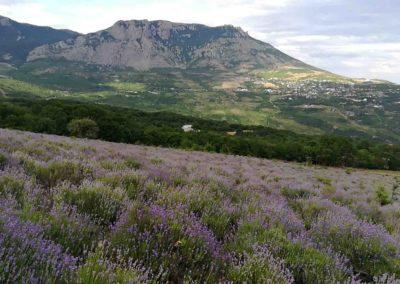 Лавандовое поле с видом на Демерджи