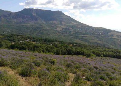 Поле лаванды с панорамой на гору Демерджи